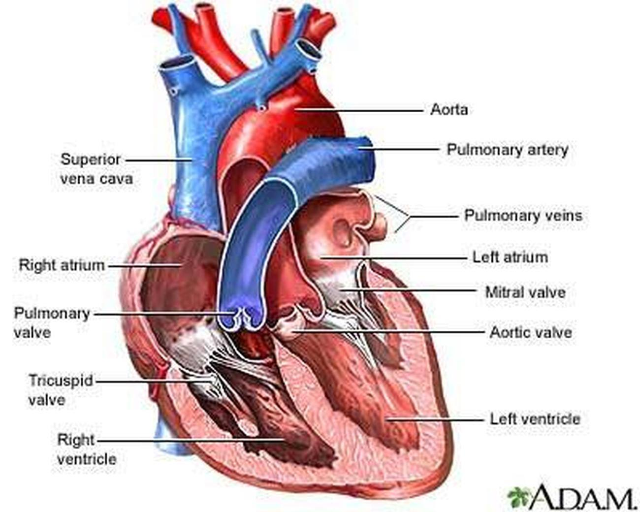Pictures Of Aortic Arch