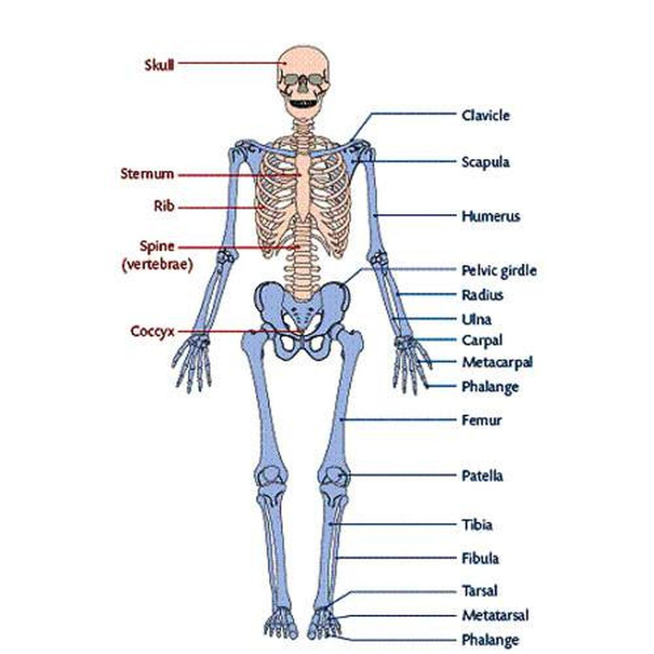 493566440388598723 in addition Maxillary Bone Skeletal Sysyem Module 8 The Skull By Openstax in addition Axial Skeleton in addition Axial Skeleton Labeling Worksheet also 5682. on skull labeling exercises