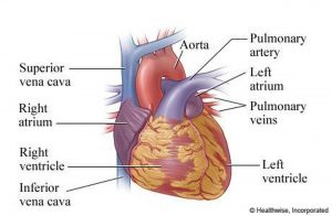 Pictures Of Atria Of The Heart