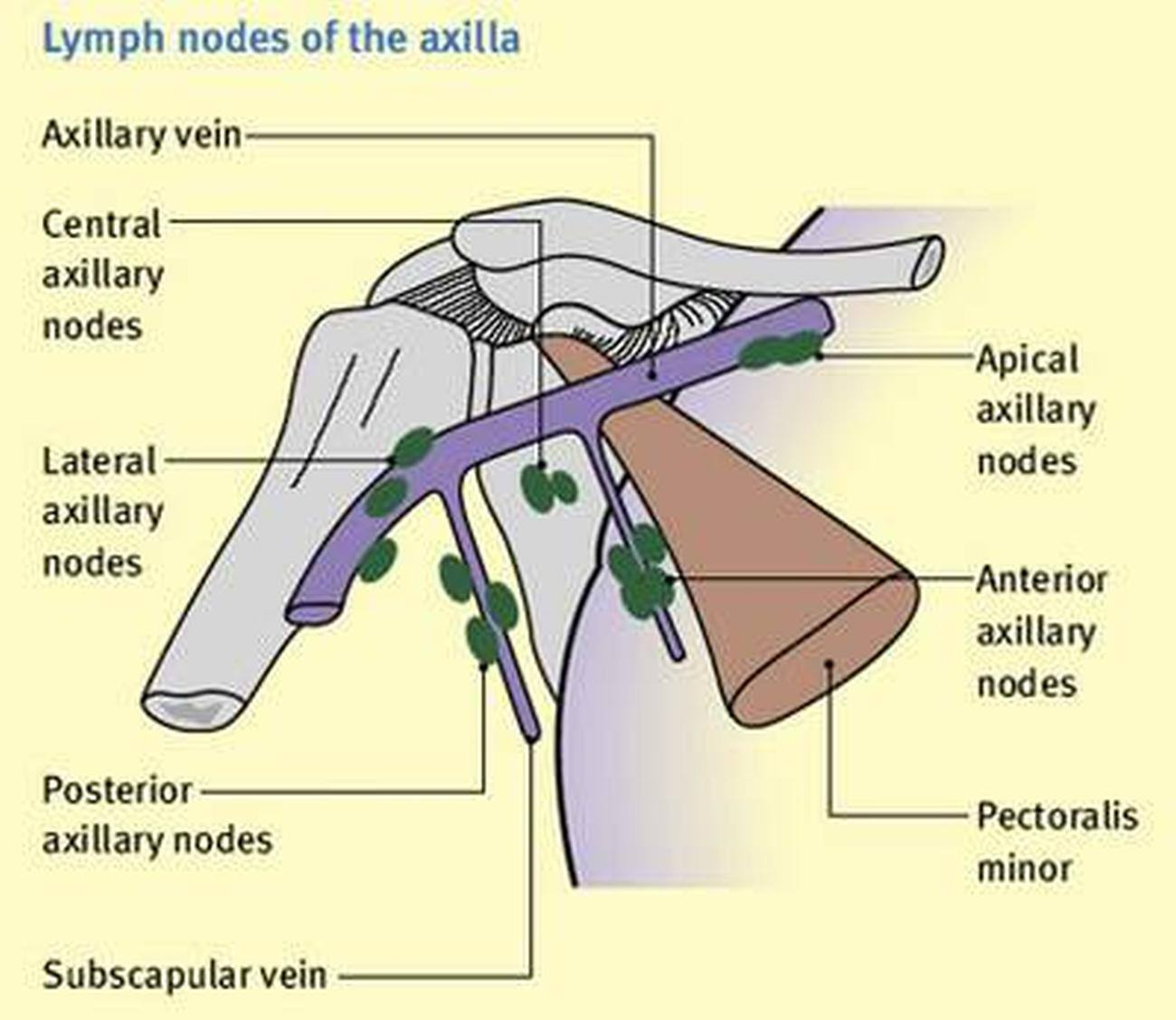 Pictures Of Axillary Lymph Nodes