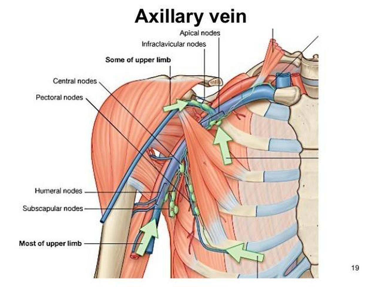 Pictures Of Axillary Vein