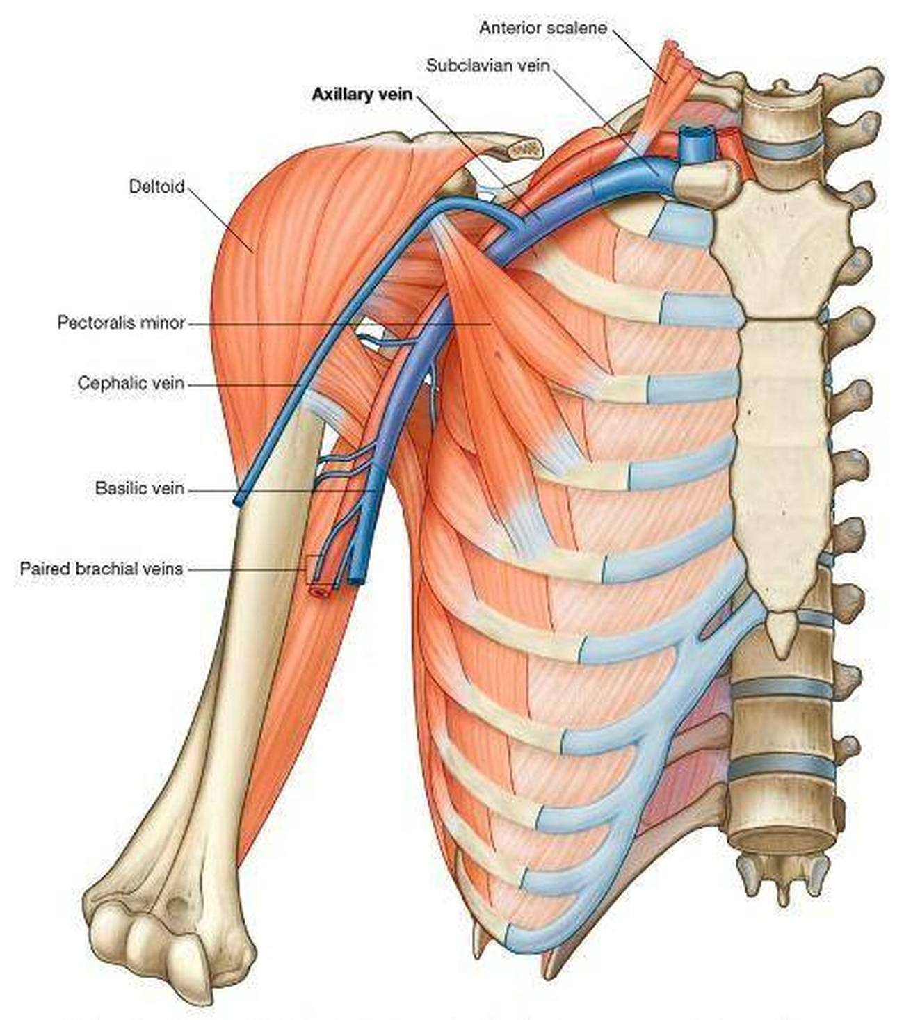 Axillary Vein Anatomy Gallery Human Body Anatomy