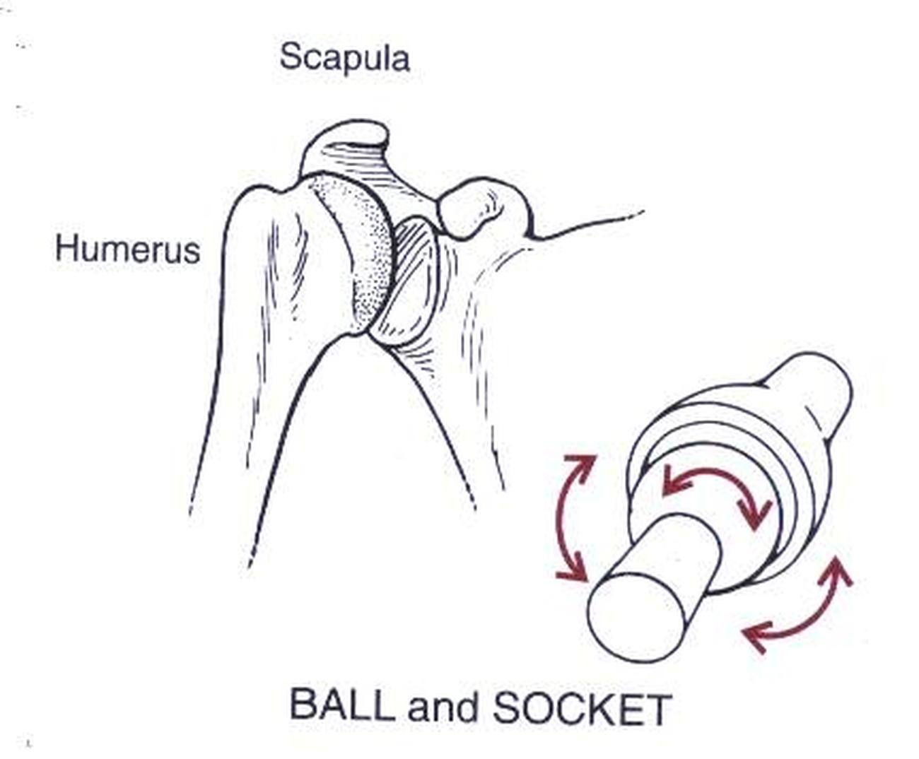 pictures of ball and socket joint