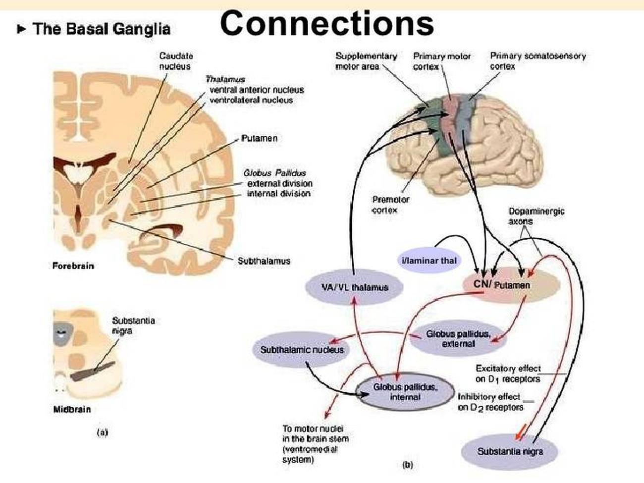Pictures Of Basal Ganglia