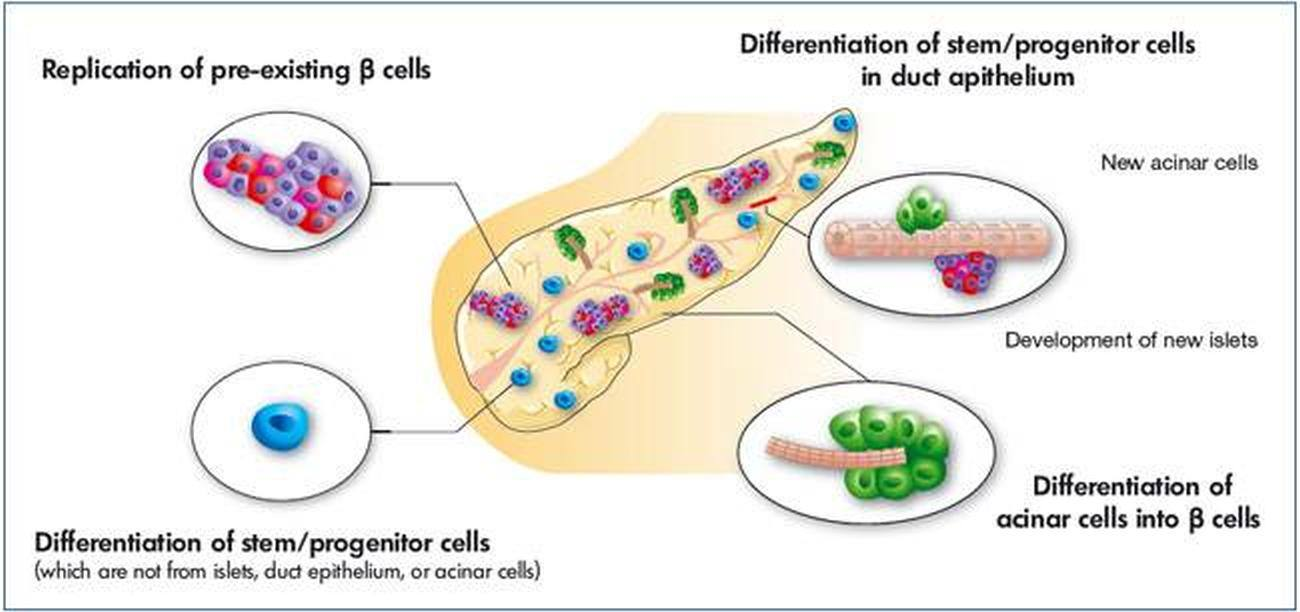 pictures of beta cells