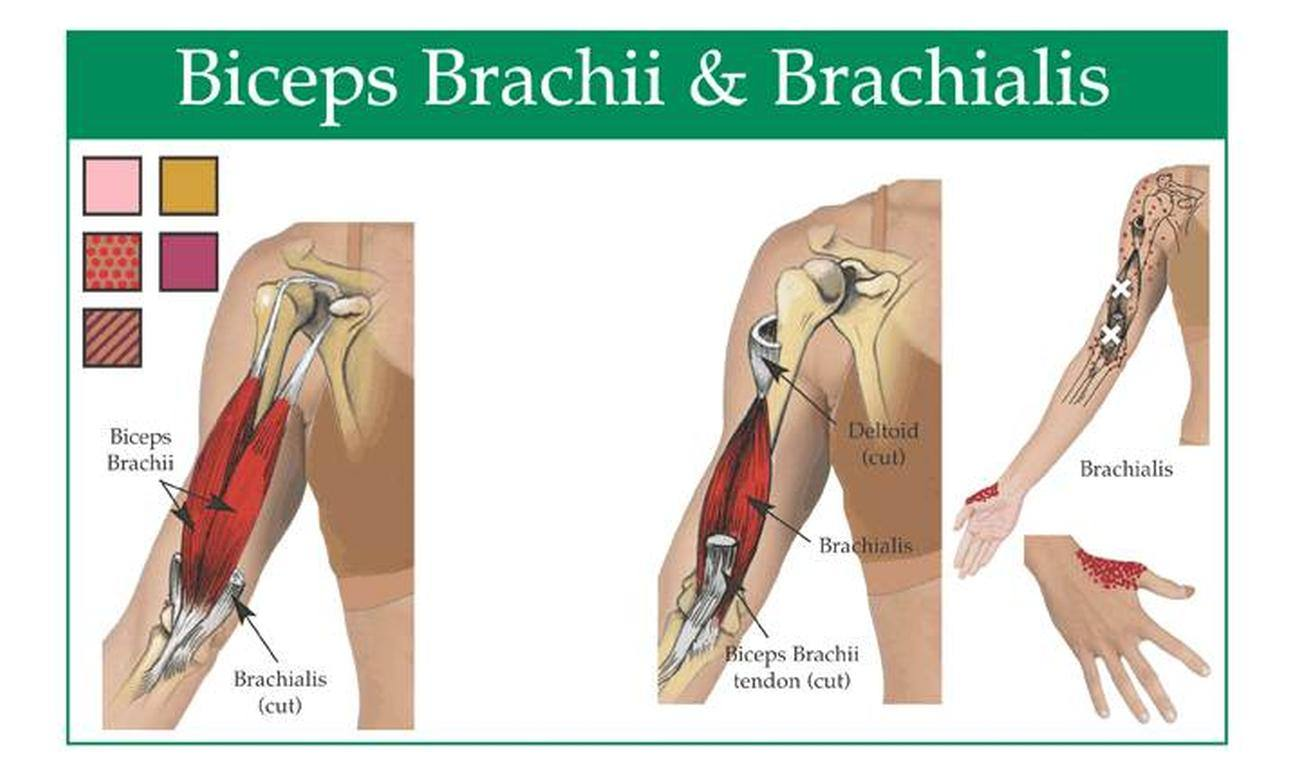 Pictures Of Biceps Brachii Tendons