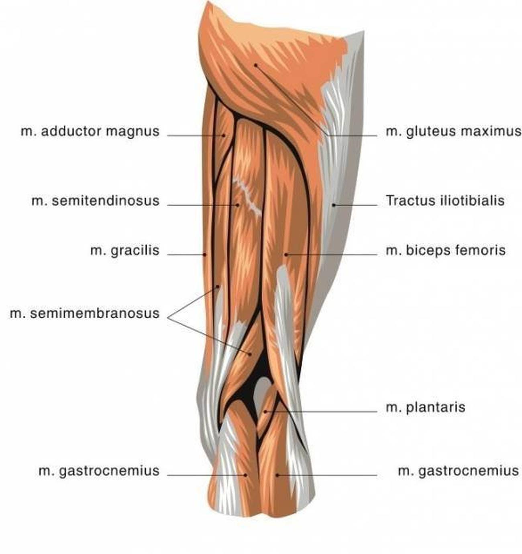 Pictures Of Biceps Femoris Tendons
