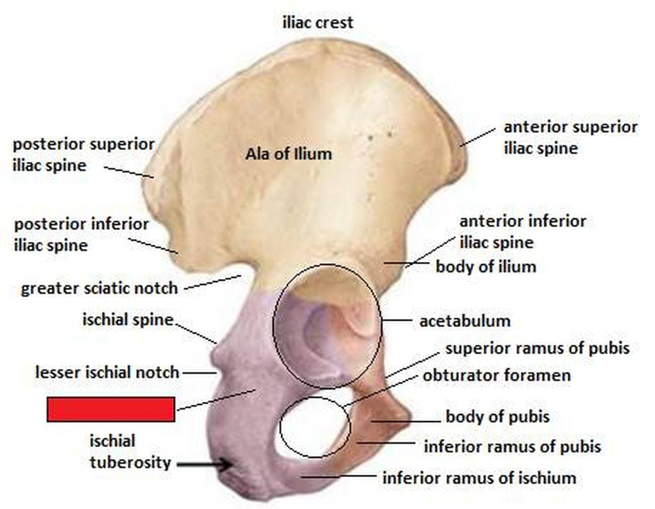 Pictures Of Body Of The Ischium