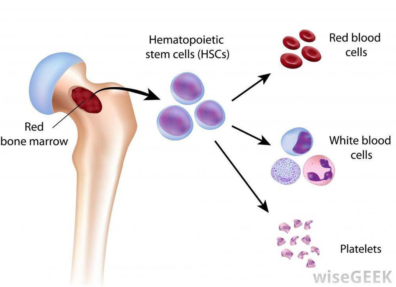 haematopoiesis located in bone marrow section biology essay At a steady state, upon leaving the bone marrow, basophils reside mainly in the peripheral blood but can migrate into tissues such as lymph nodes, skin and the lungs where they can play roles in regulating immune responses or in the pathogenesis of diseases.