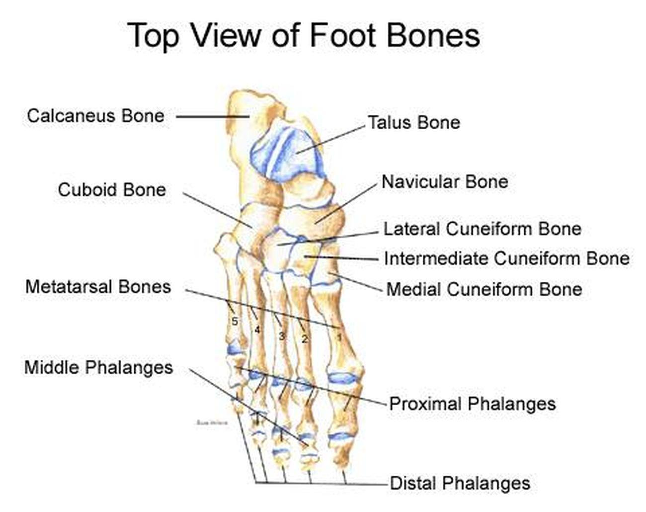 Pictures Of Bones Of The Feet