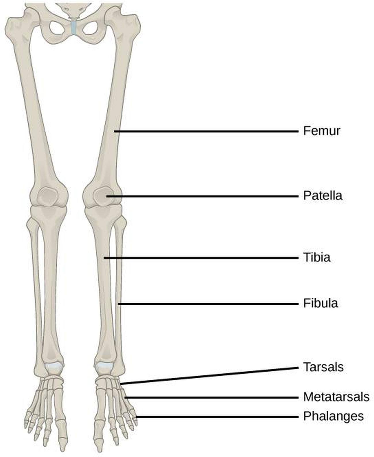 Lower Extremity Bones Diagram - Online Schematic Diagram •