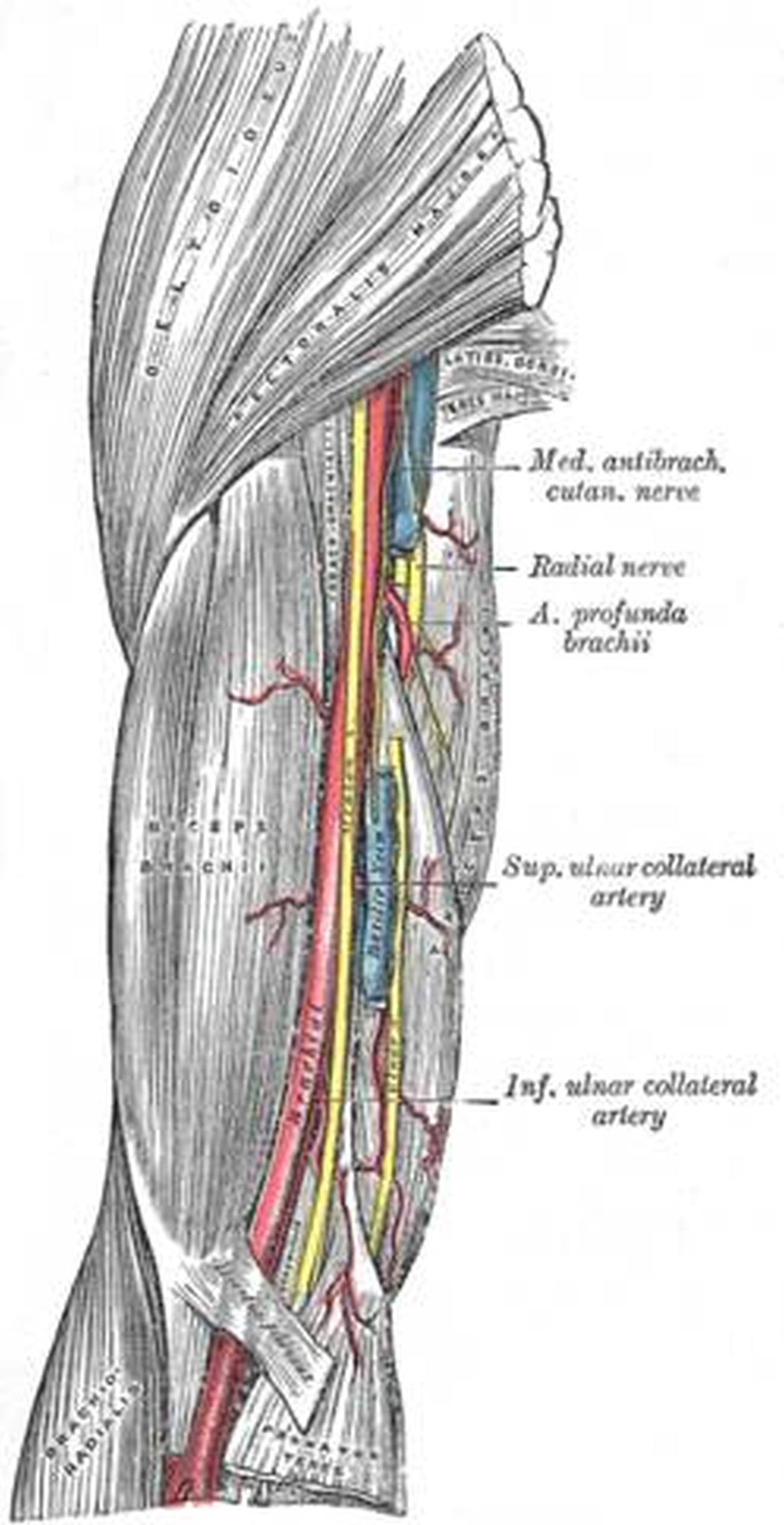 Pictures Of Brachial Artery