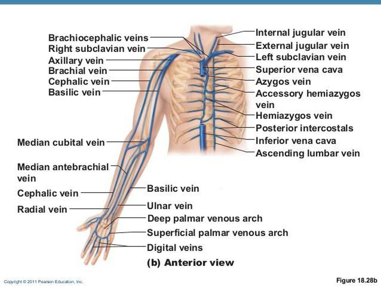 Pictures Of Brachial Vein
