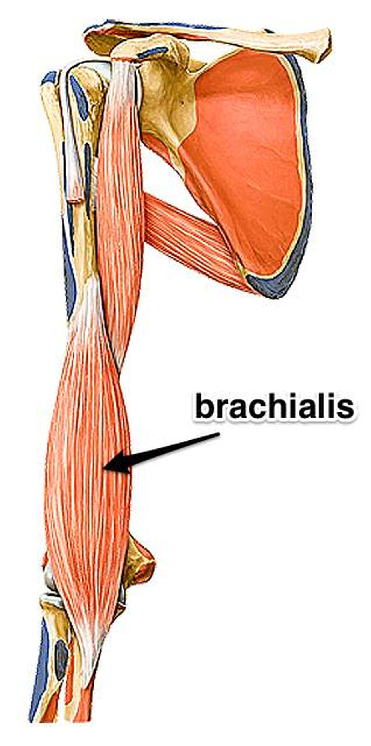 Pictures Of Brachialis