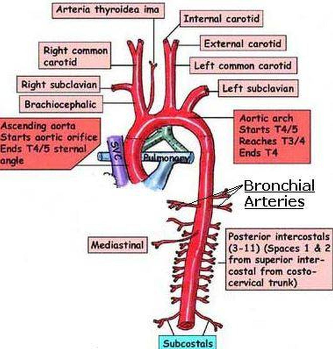 pictures of bronchial artery