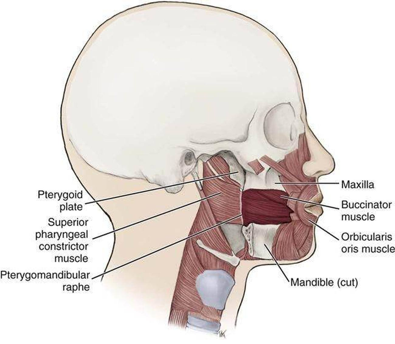 ORIGIN Anterior surface of zygomatic bone INSERTION Modiolus at angle of mouth ACTION Elevates and draws angle of mouth laterally NERVE Buccal branch of facial nerve VII