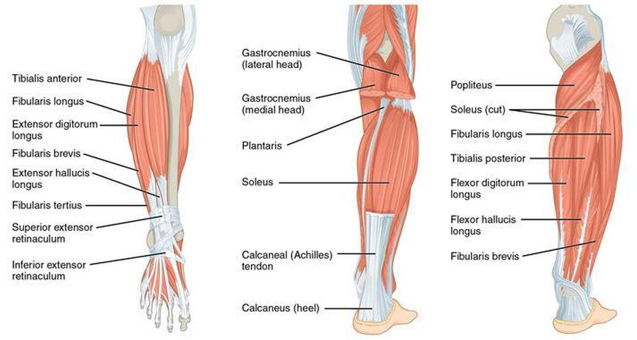 pictures of calf muscle