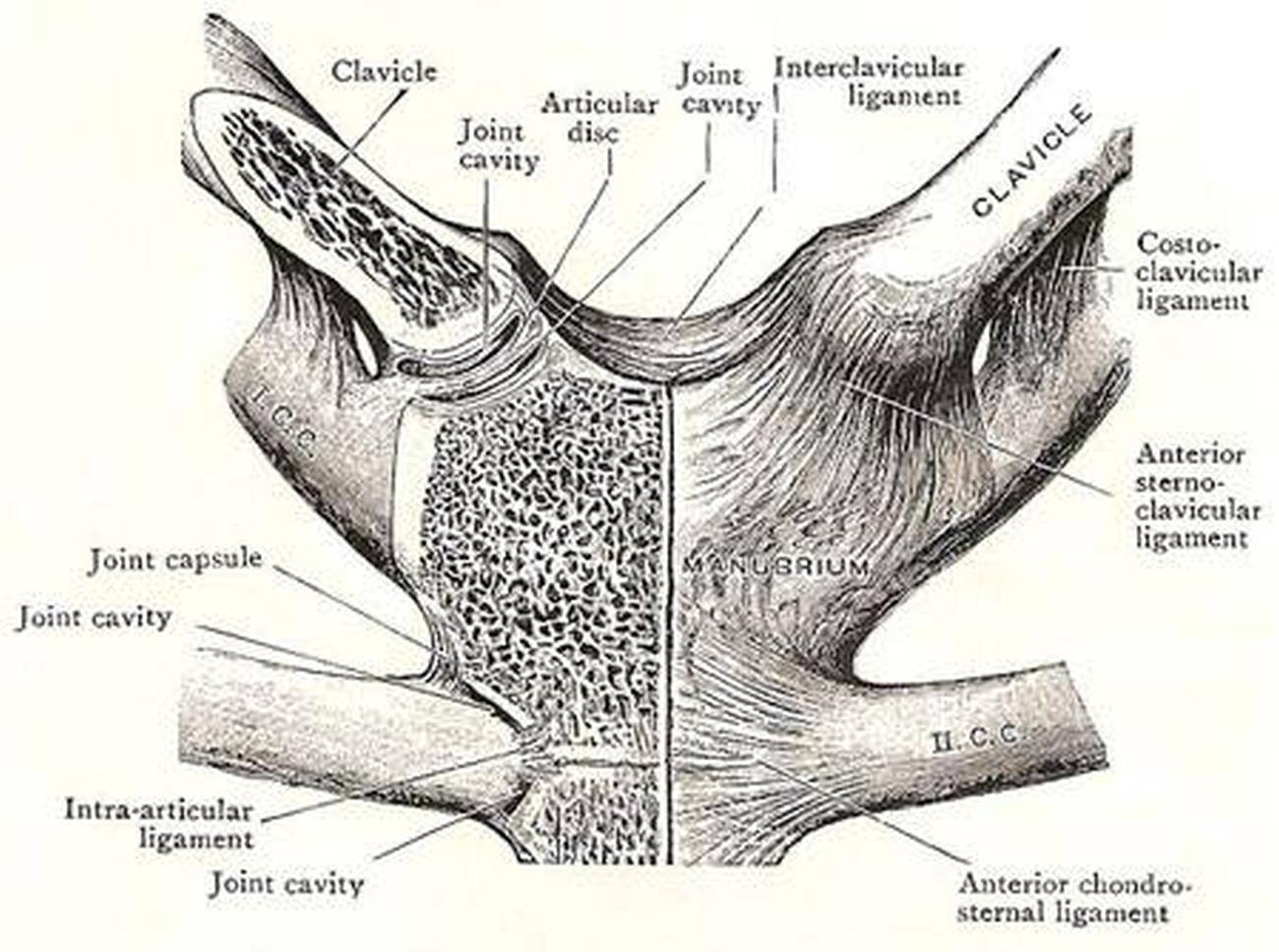 Pictures Of Capsular Ligament Of The Sternoclavicular Joint
