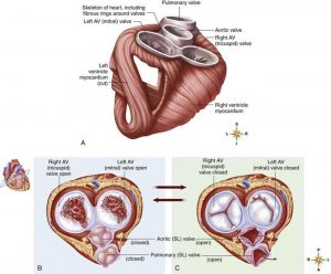 Pictures Of Cardiac Skeleton