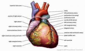 Pictures Of Cardiopulmonary System