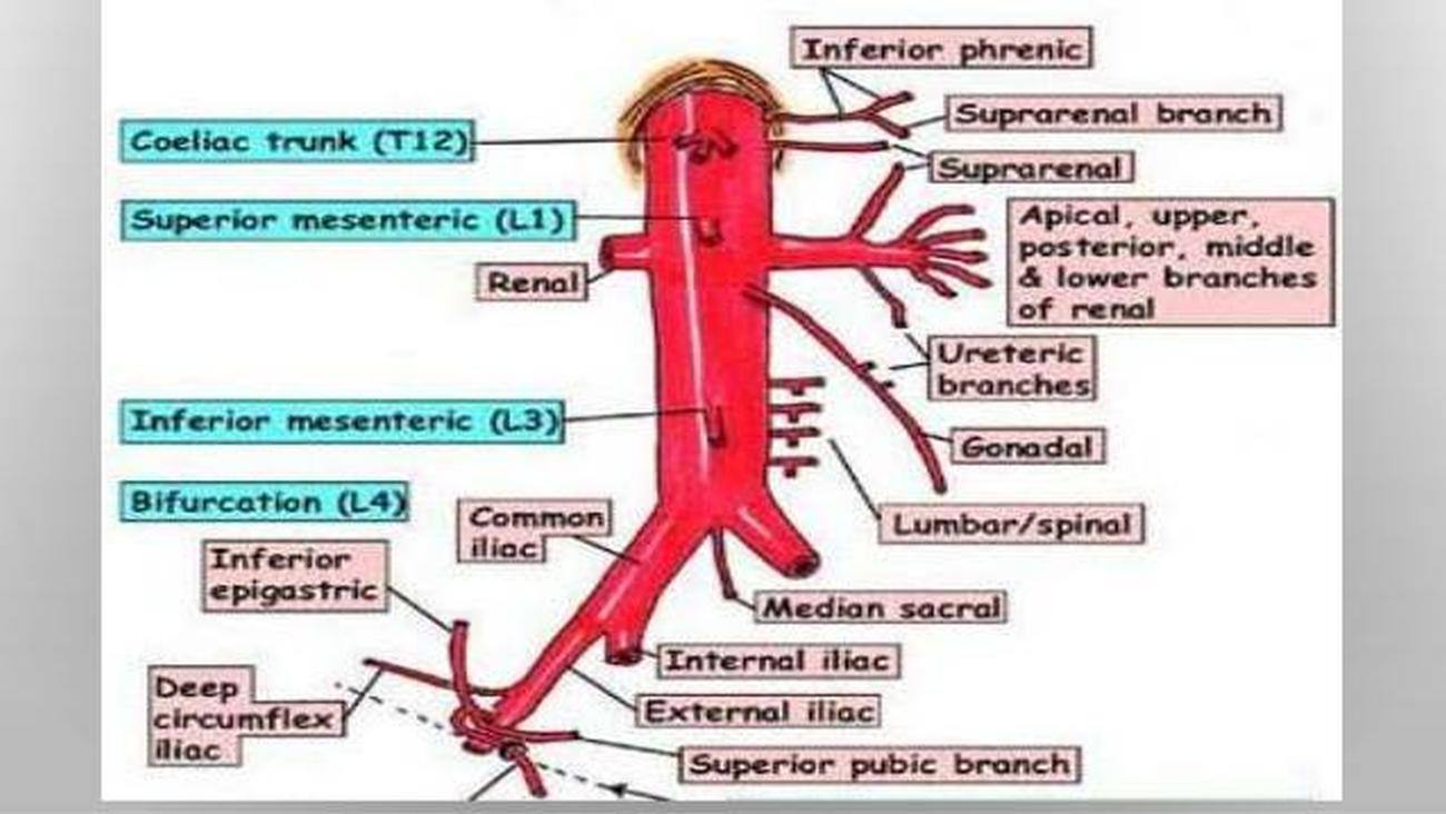 Celiac axis anatomy