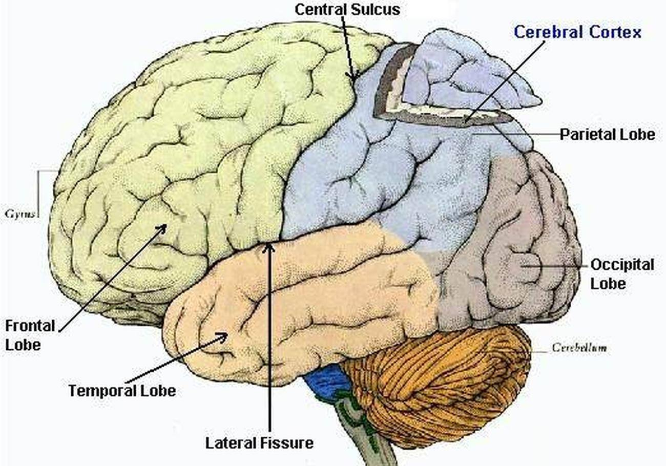 how you use your cerebral cortex in everyday functions By the end of this section, you will be able to: describe the relationship of mental status exam results to cerebral functions explain the categorization of regions of the cortex based on anatomy and physiology.