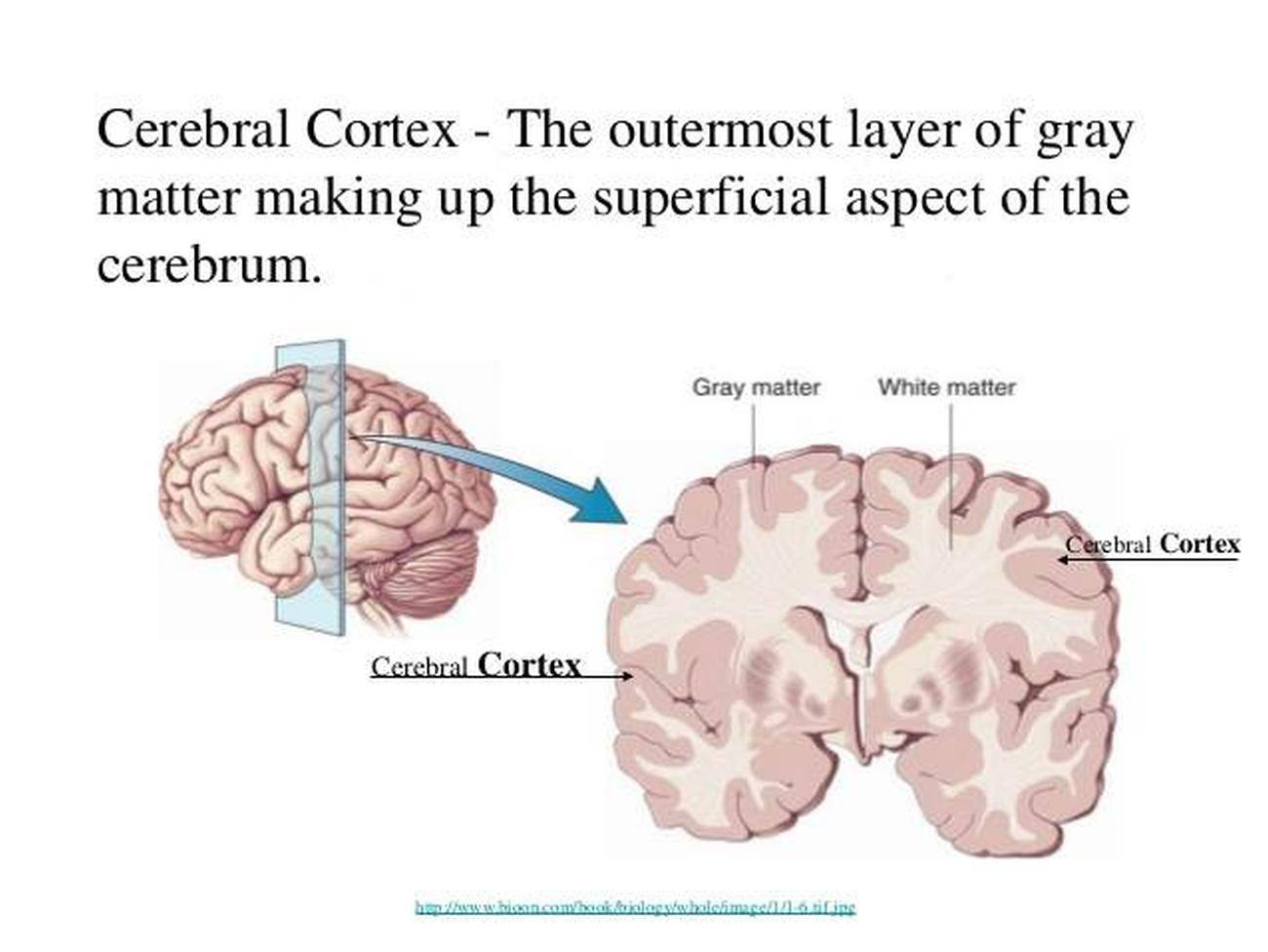 cerebral cortex Cerebral cortex's wiki: the cerebral cortex is the largest region of the mammalian brain and plays a key role in memory, attention, perception, cognition, awareness, thought, language, and consciousness the cerebral cortex is the most anterior (rostral) brain region and consist.
