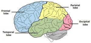 Pictures Of Cerebrum