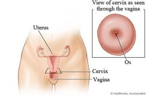 Pictures Of Cervix