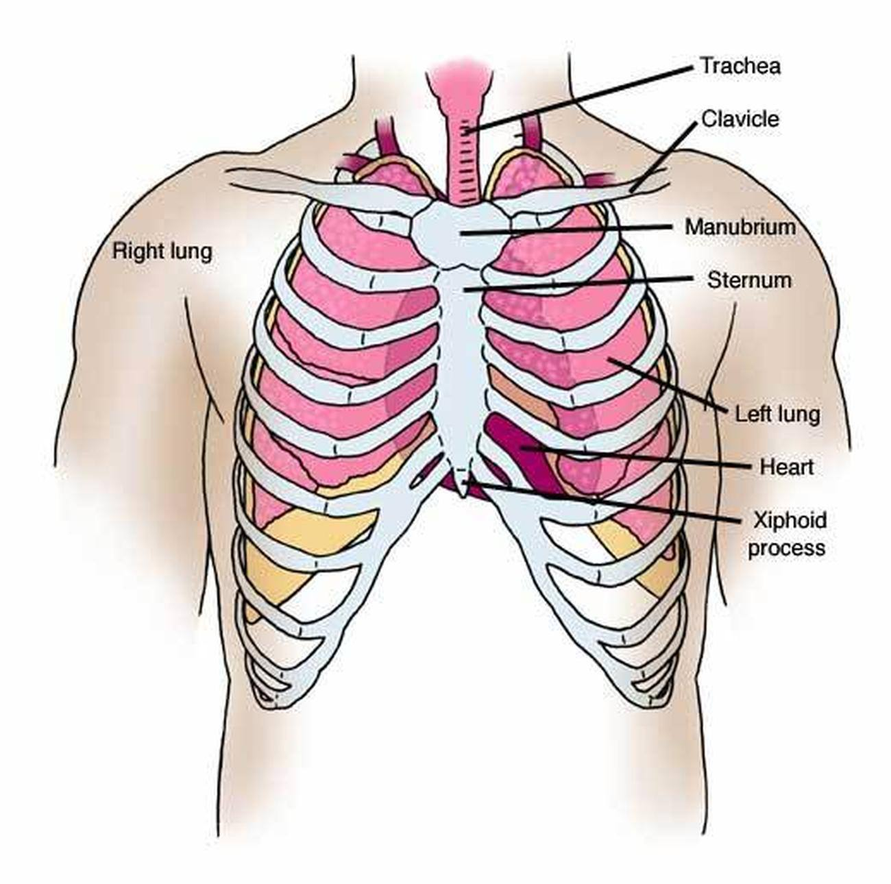 Pictures Of Chest