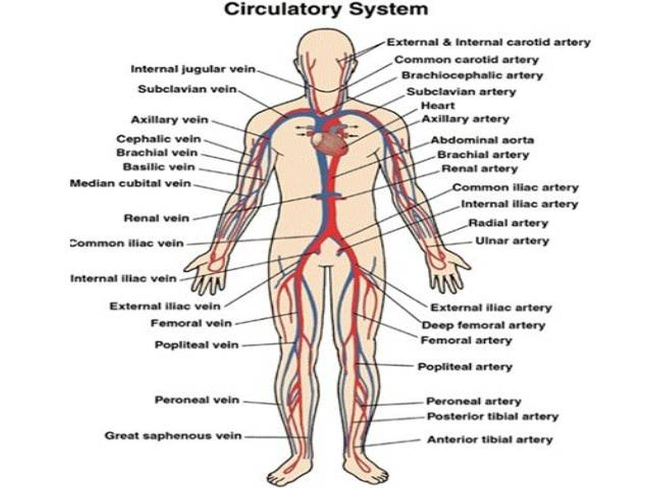 Pictures Of Circulatory System