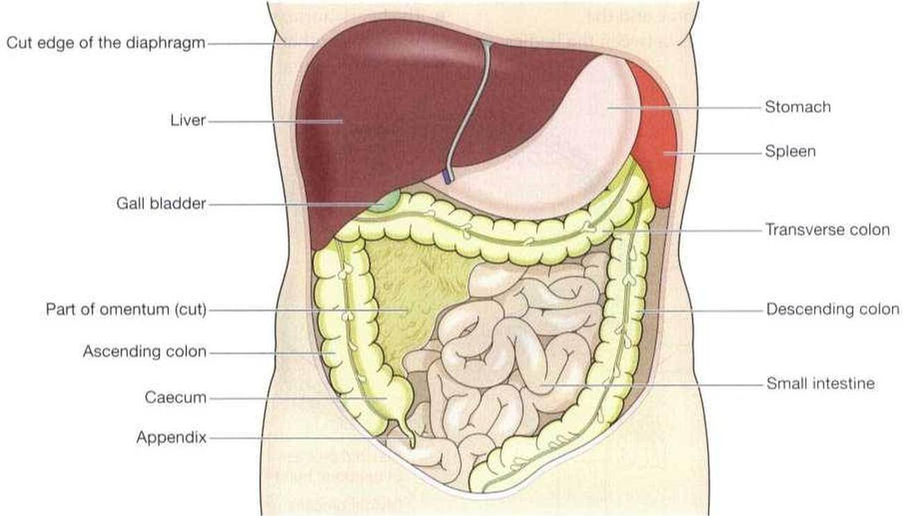 Pictures of abdominal cavity ccuart Images