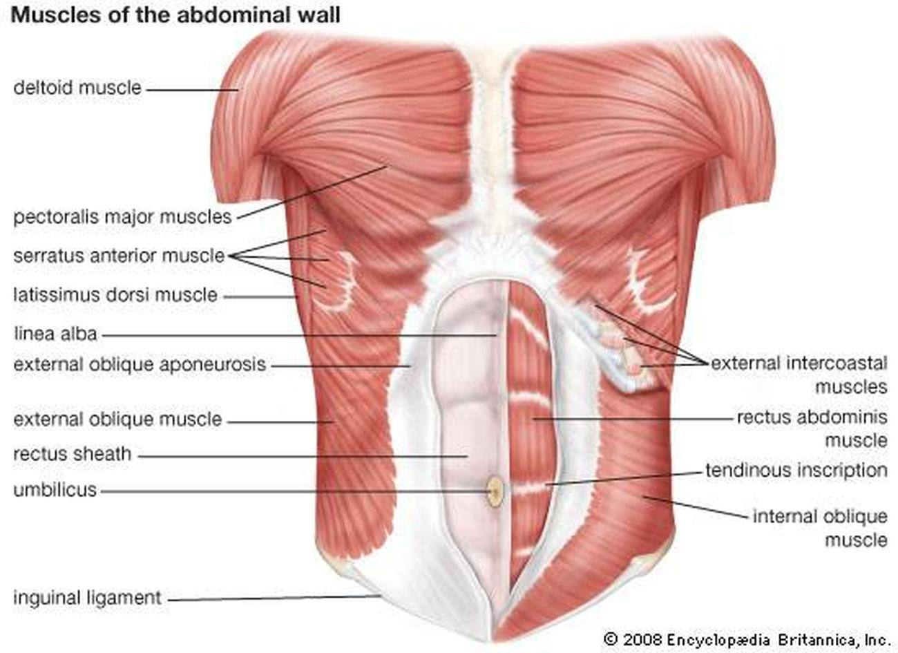 Pictures Of Abdominal Muscles