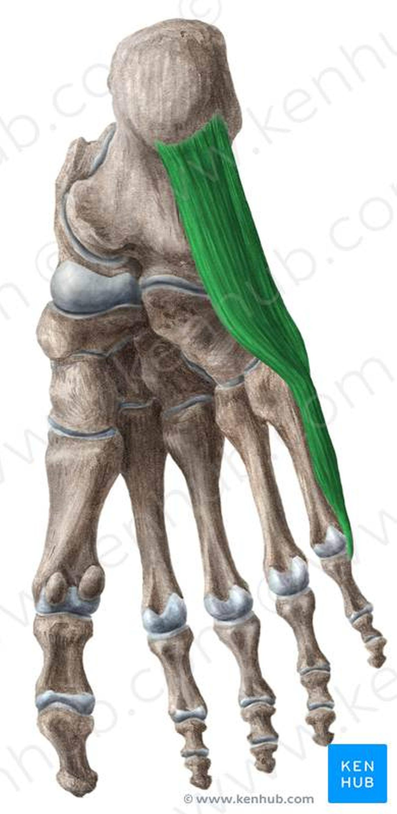 Pictures Of Abductor Digiti Minimi Muscle