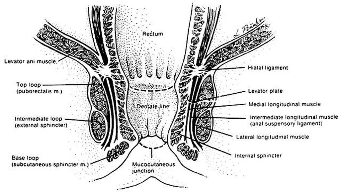 Pictures Of Anal Sphincter, External