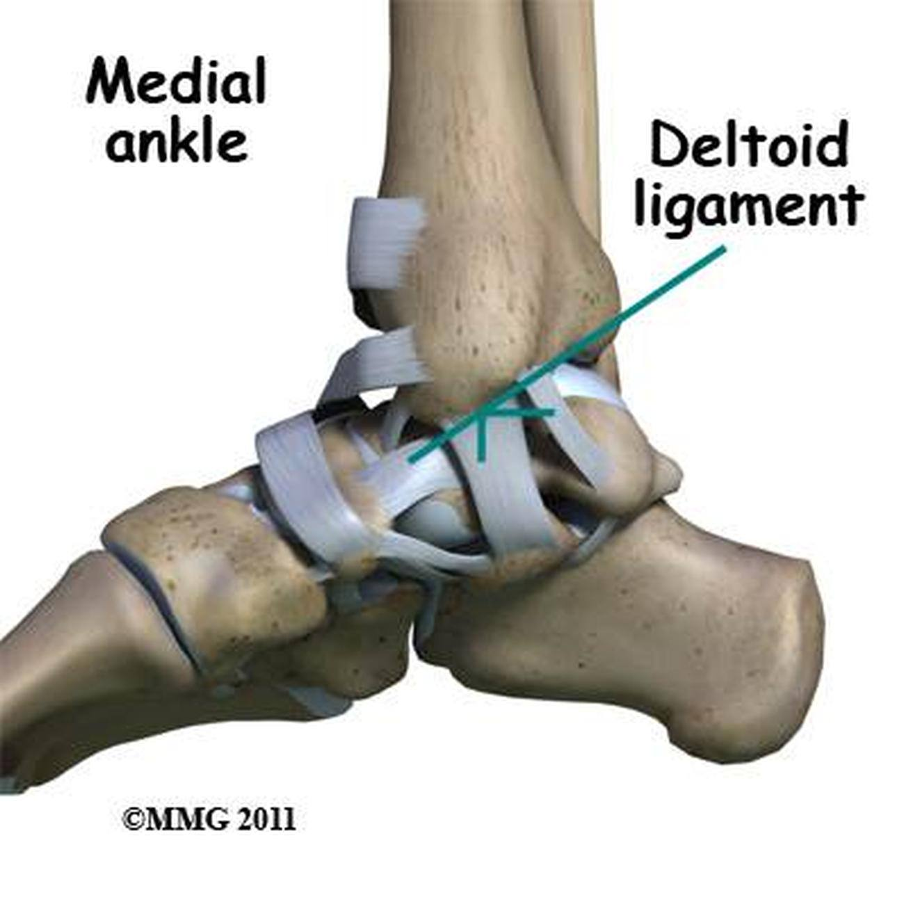 Pictures Of Ankle Joint, Deltoid Ligament