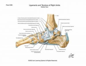 Pictures Of Ankle Joint Ligaments