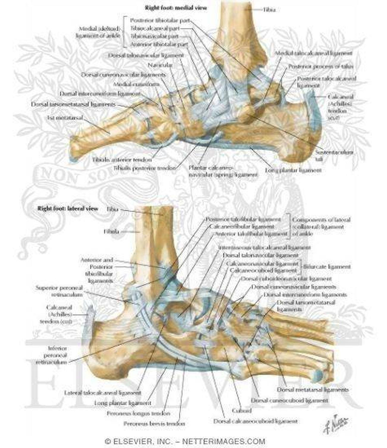 Pictures of ankle joint ligaments pictures of ankle joint ligaments 33 pooptronica