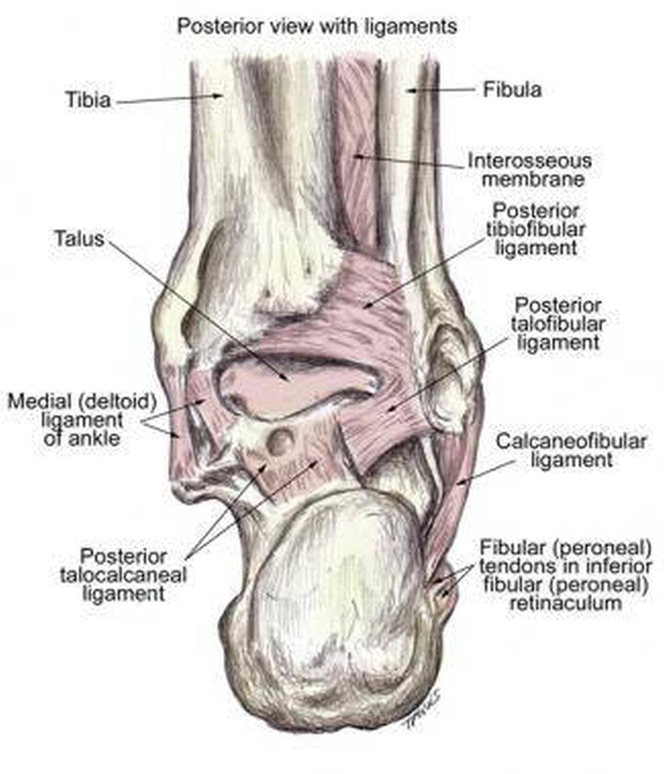 Anatomy of ankle ligaments