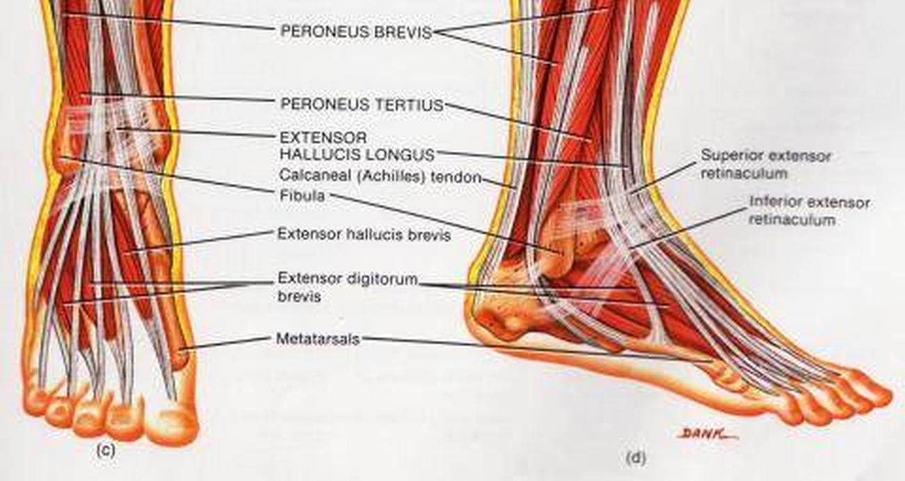 Pictures Of Ankle Muscles