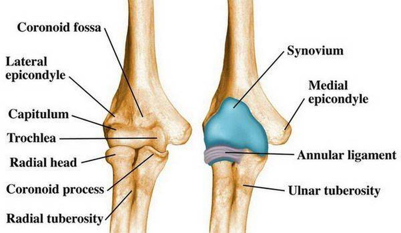 Pictures Of Anular Ligament
