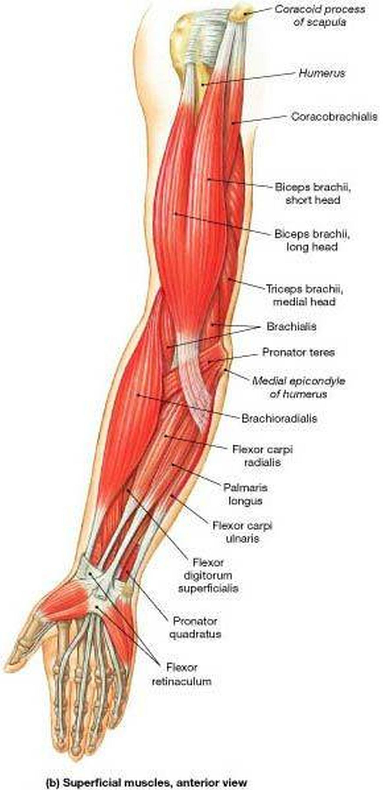 Pictures Of Arm Muscles