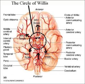 Pictures Of Arterial Circle