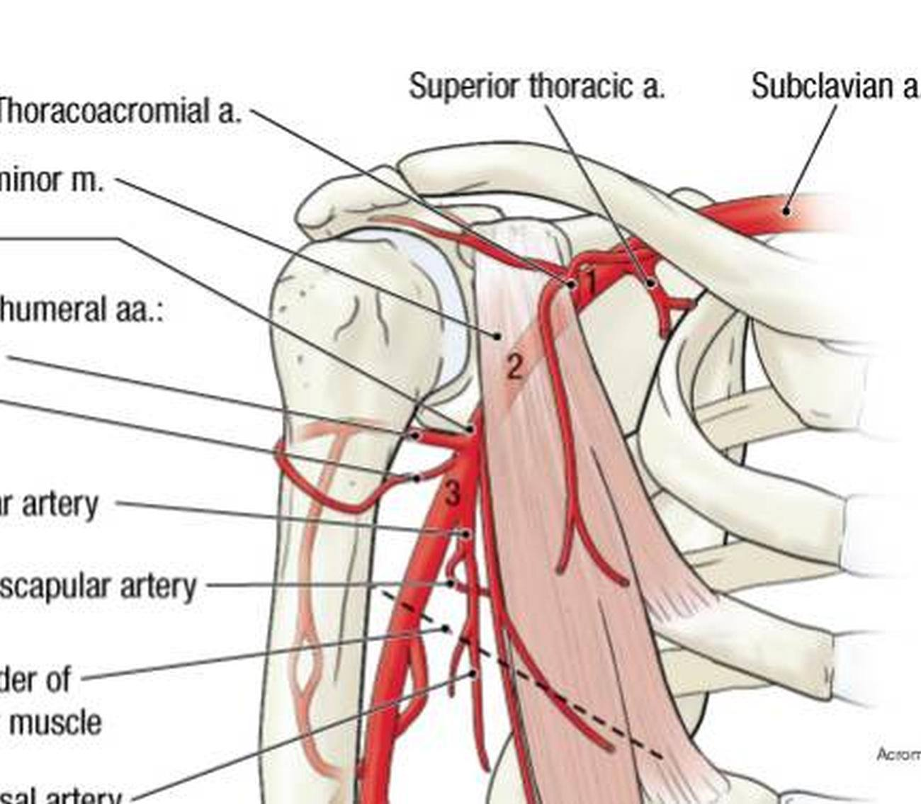 Pictures Of Axillary Artery