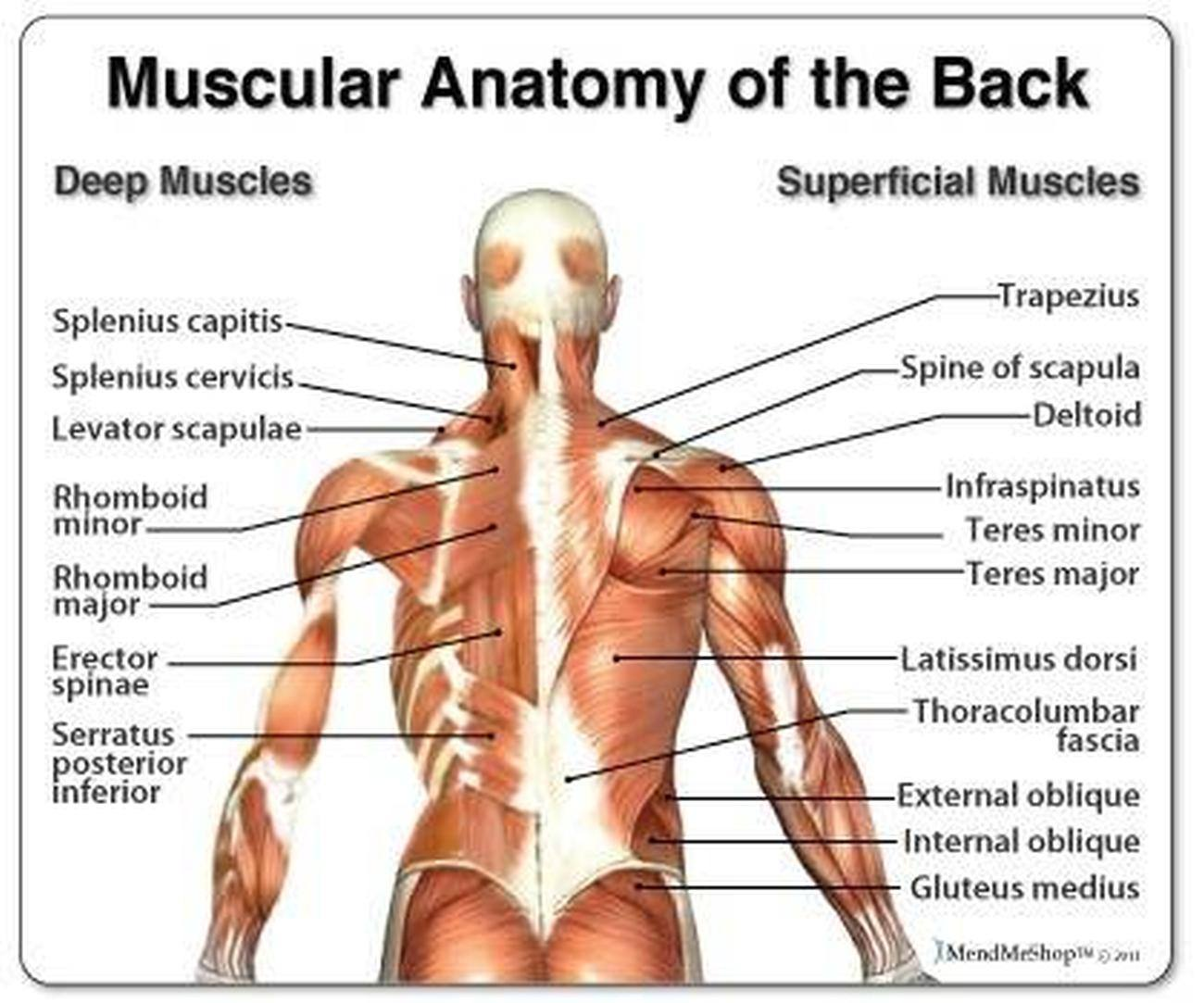 Pictures Of Back Muscles