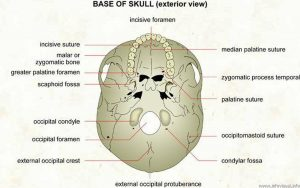 Pictures Of Base Of Skull