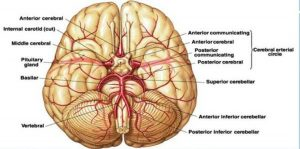 Pictures Of Basilar Artery