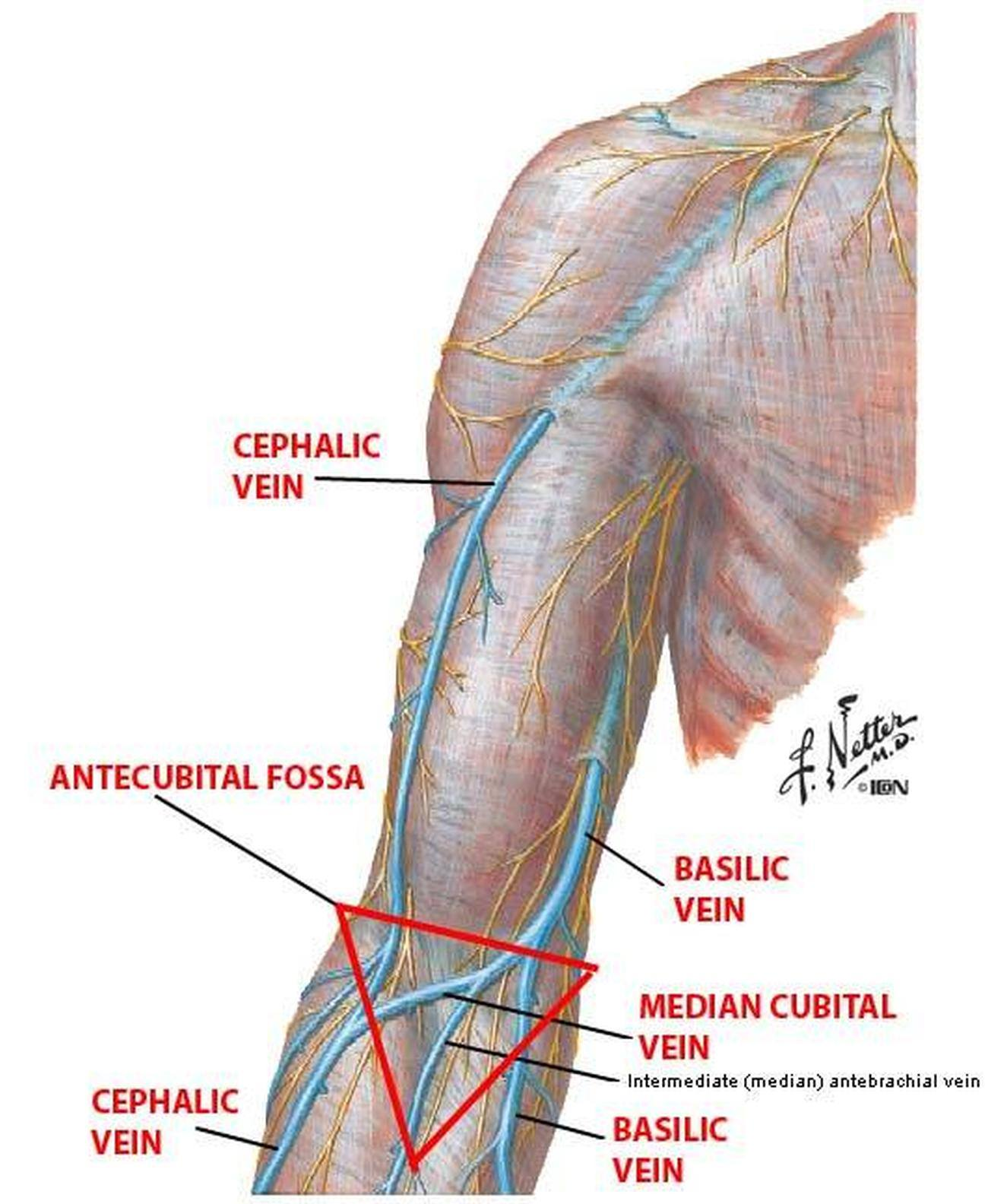 Pictures Of Basilic Vein