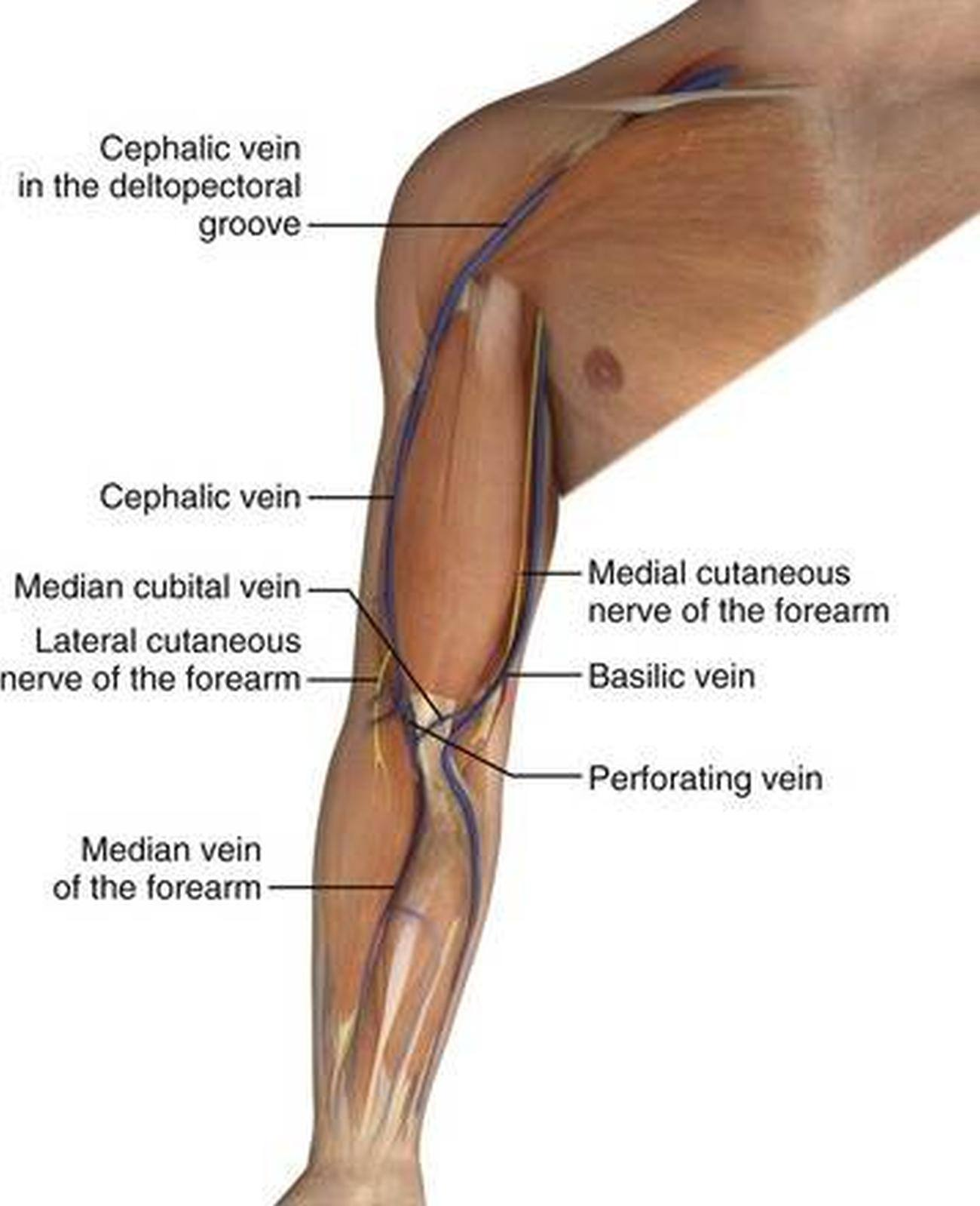 cephalic vein anatomy images - learn human anatomy image, Human Body