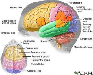 Pictures Of Brain